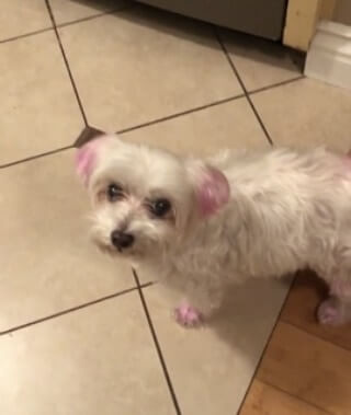 maltese missing biscuit dyed pink ears and tail