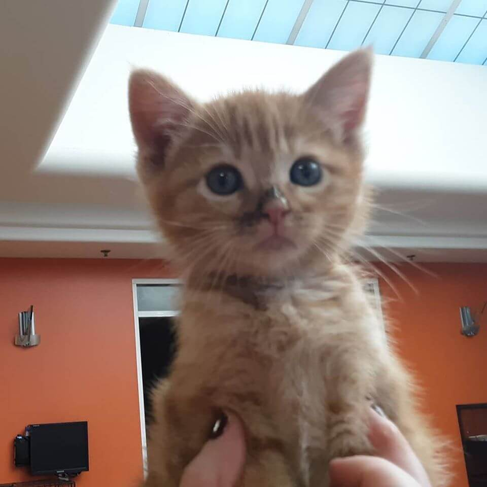 month old male ginger cat