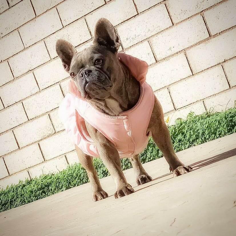 angle shot bulldog with pink dress