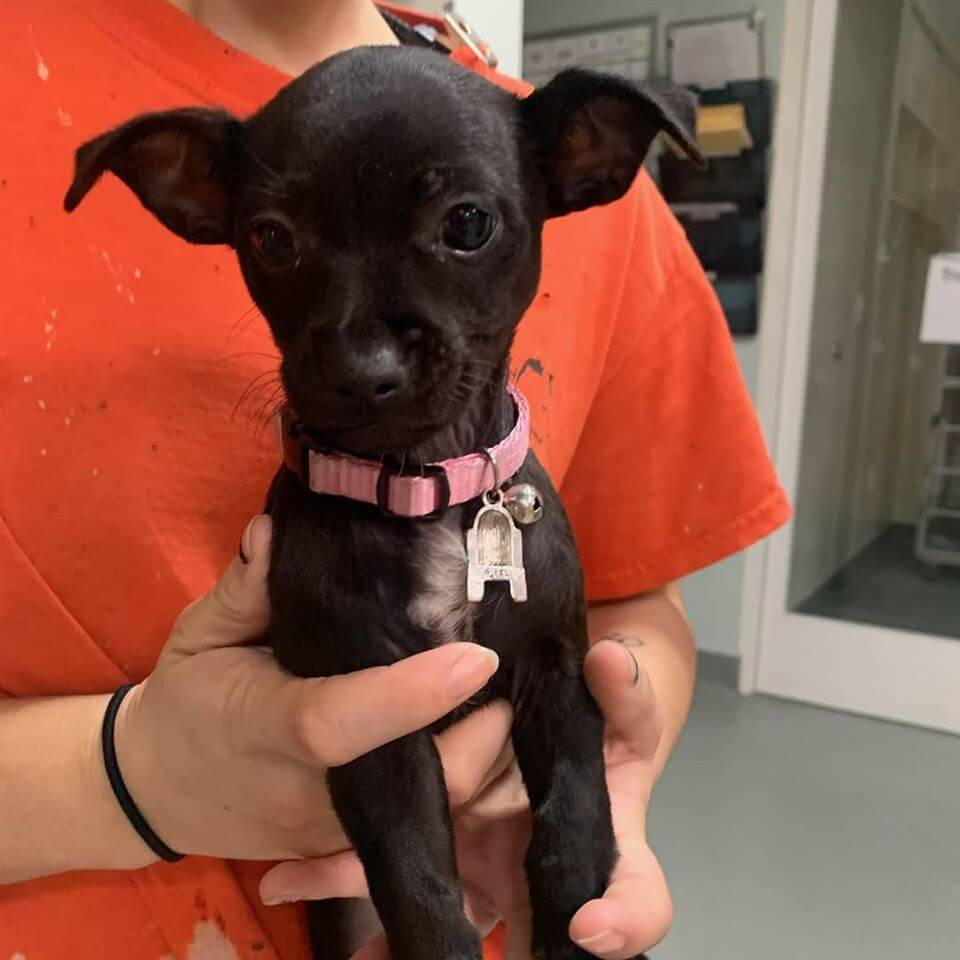 black female chihuahua puppy lost with pink collar