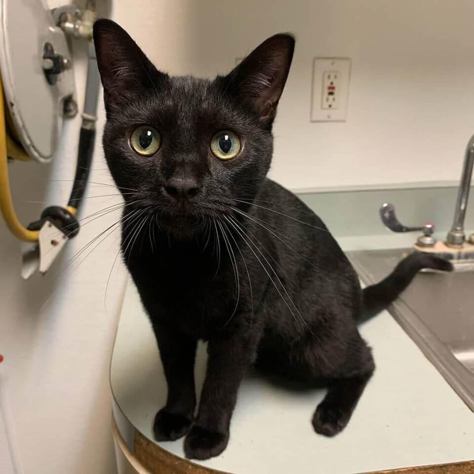 gemini the boy black cat cat castle long whiskers and open wide eye