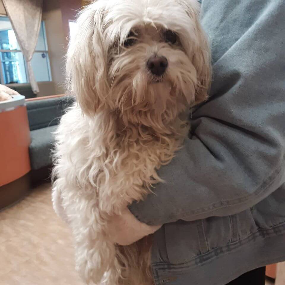 white female poodle carried with gray jacket