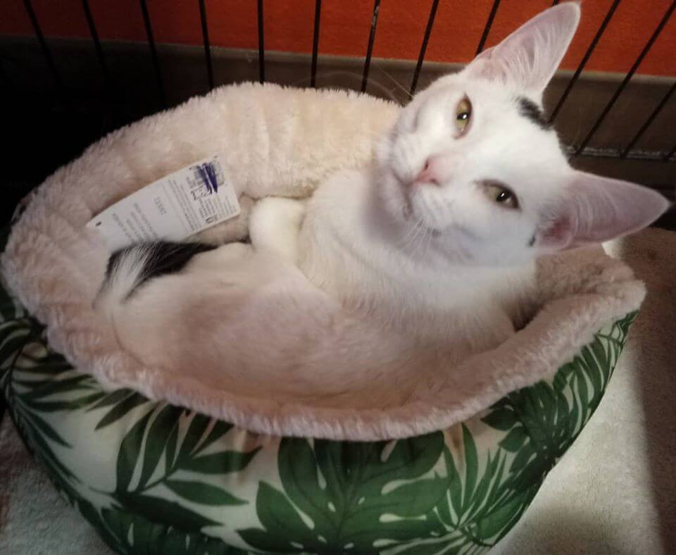 cinnamon twist 5mo old on leafy cat bed