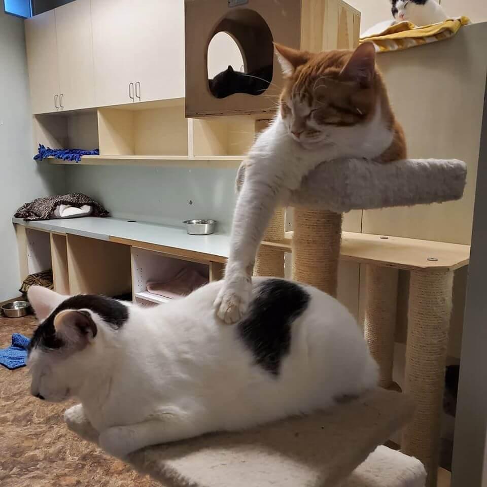 citrus asleep while rbbing briars back cat tower