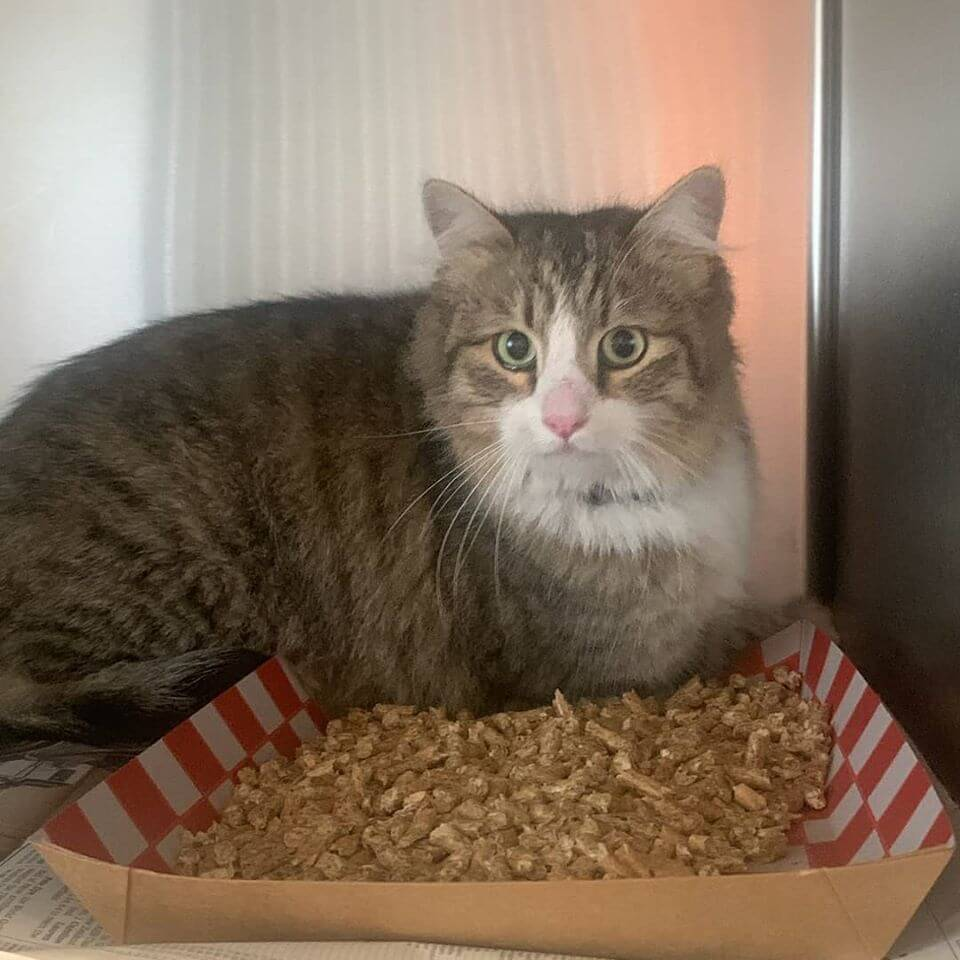 adult cat found bolsa/bushard westminster WAGS