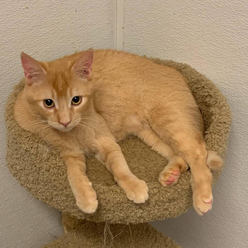 paddington orange tabby on cat bed tower