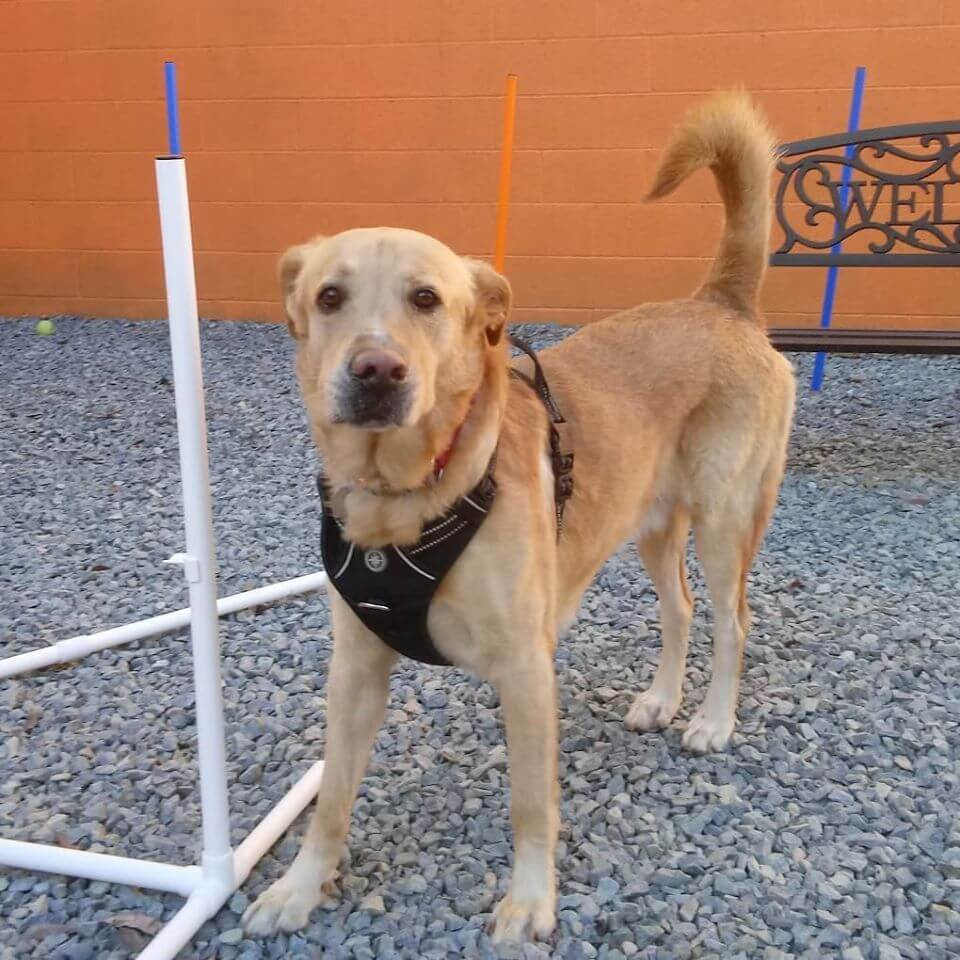 white obstacles WAGS yard brown with black leash and bandana like