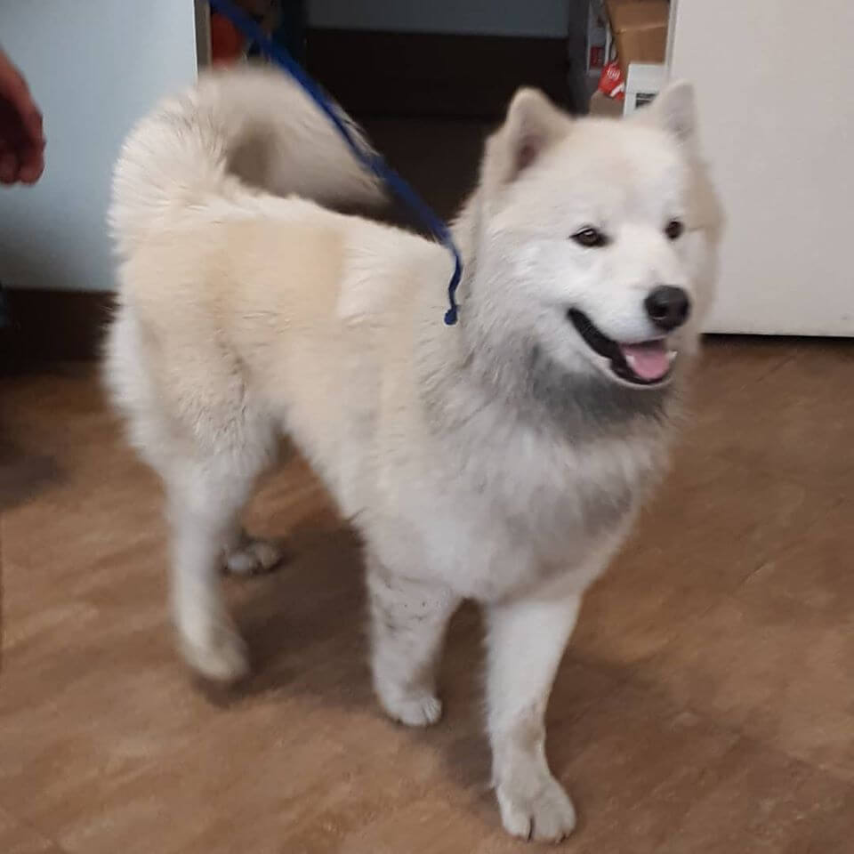 large male plumwood cordaway westminster white furry