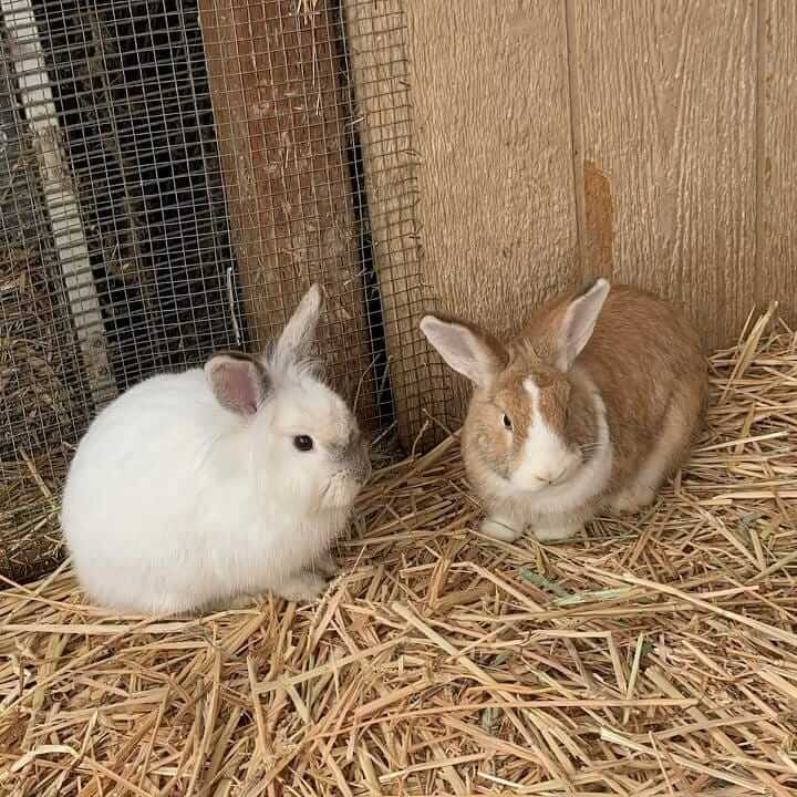 asian lionhead rabbit and boucher brown and white rabiit
