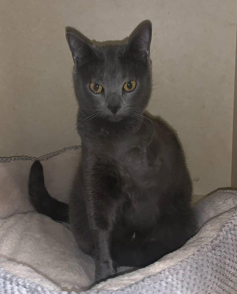 three legged cat WAGS bessie gray