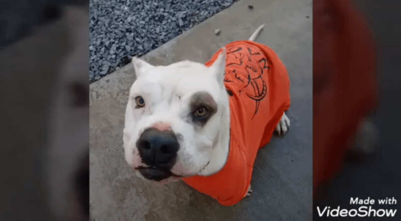 orange jumpsuit WAGS elvis white bulldog